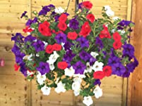 Two Pre-Planted Petunia Patriotic Hanging Baskets - Vibrant Summer Colour