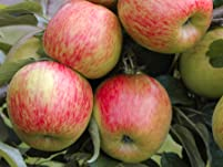 Grown Your Own Braeburn Apples with these Two Apple Trees
