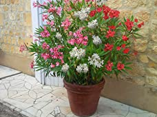 Mediterranean Oleander Tricolour Bush with Free Delivery - Up to 49% Off
