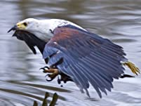 American Birds of Prey Experience with Hot Chocolate and Mince Pie for One or Two People