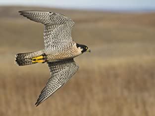 Falconry Experience with a Guided Tour, Bird Handling and Flying Display for One or Two