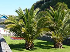 A Pair of Hardy Canary Island Date Palms Including Delivery