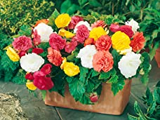 36 Mixed Begonia Jumbo Plugs Including Delivery