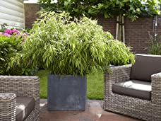 A Pair of Fargesia Fountain Bamboos Including Delivery