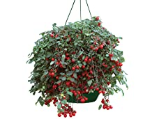 A Pair of Cherry Tomato Hanging Baskets - Tasty and Decorative
