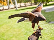 A Choice of Hawk and Falconry Edinburgh Tour or Hawk-Walk for Two People